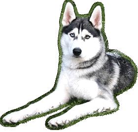 le husky sib rien est un chien de travail chiots husky sib rien vendre aux yeux bleu. Black Bedroom Furniture Sets. Home Design Ideas